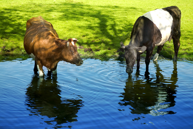 Cows in spring water. Cow and bull in spring water royalty free stock photos