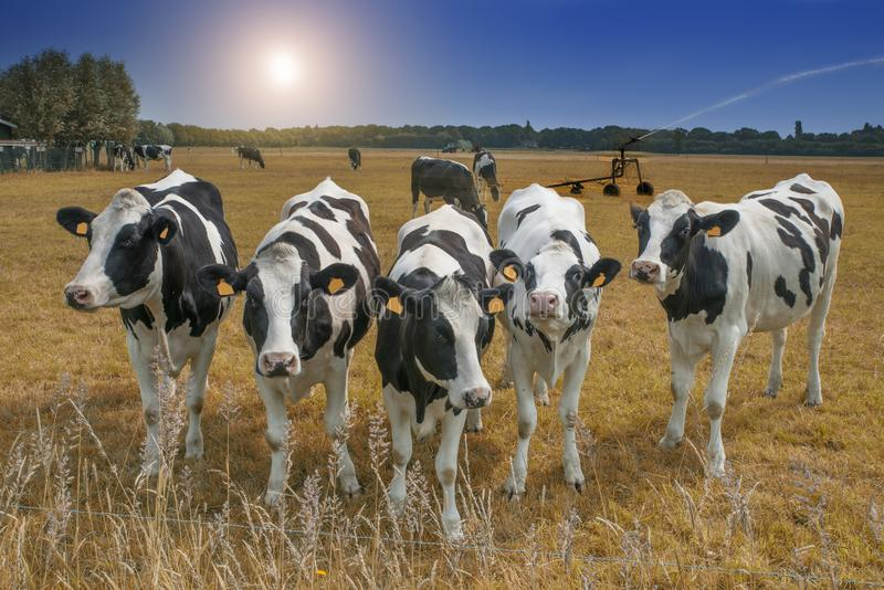 Cows standing in a dry meadow stock image