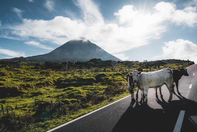 Cows standing on EN3 longitudinal road northeast of Mount Pico and the silhouette of the Mount Pico along , Pico island. Azores, Portugal. Photo taken in royalty free stock photography