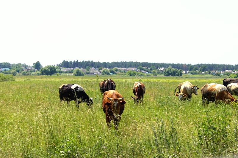 Cows Standing In Farm Pasture. Shot Of A Herd Of Cattle On A Dairy Farm. Nature, Farm, Animals Concept. Meadow and Cows royalty free stock photo