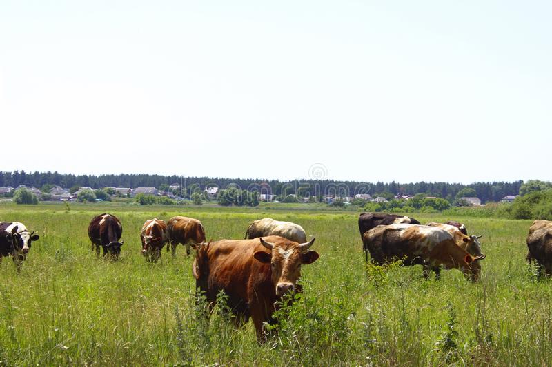 Cows Standing In Farm Pasture. Shot Of A Herd Of Cattle On A Dairy Farm. Nature, Farm, Animals Concept. Meadow and Cows stock photo