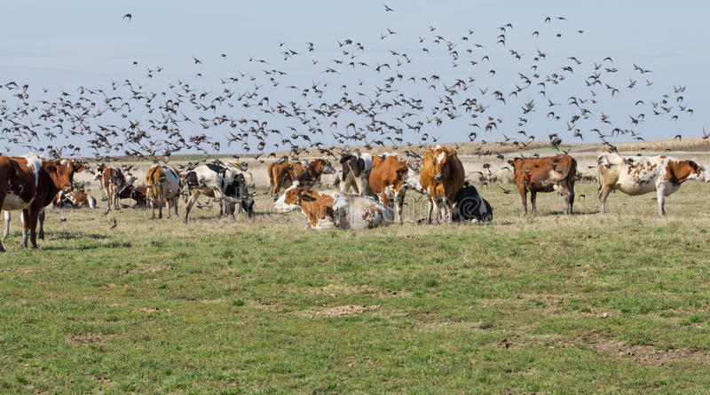 Cows and starlings. On grass land royalty free stock photography