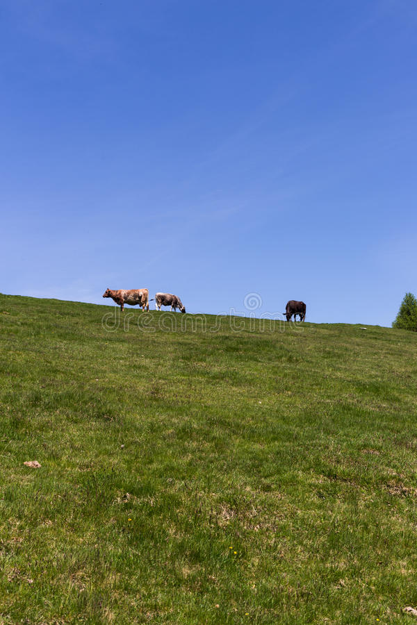 Cows at summer green field. Amazing cows at summer green field royalty free stock image