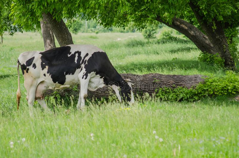 Cows on a summer pasture. Nature. farmland concept. Cows on a summer pasture stock photos