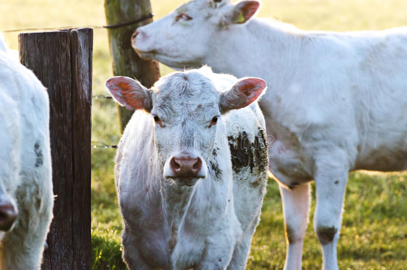Cows in sun royalty free stock photos
