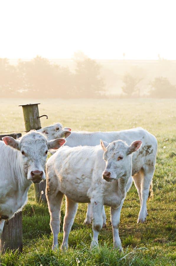 Cows in sun stock photo