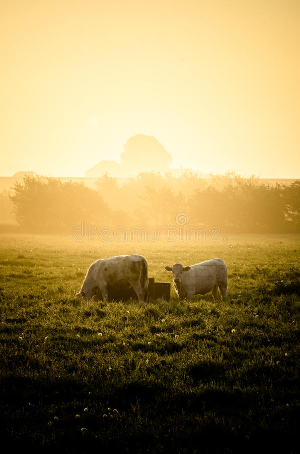 Cows in sun royalty free stock image