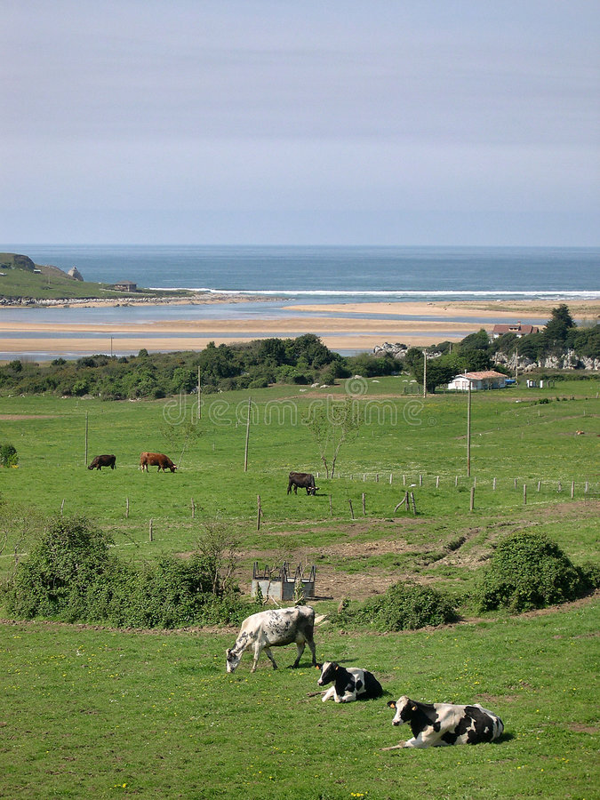 Cows sunbathing stock image