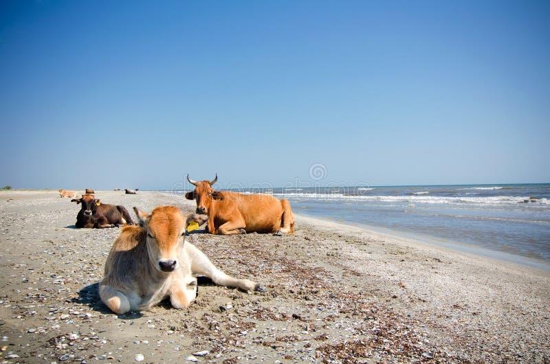 Download Cows sunbathing stock image. Image of horns, beach, summer - 33110741