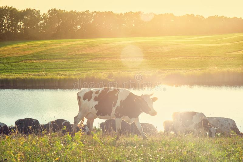 Cows on a sunny day royalty free stock image