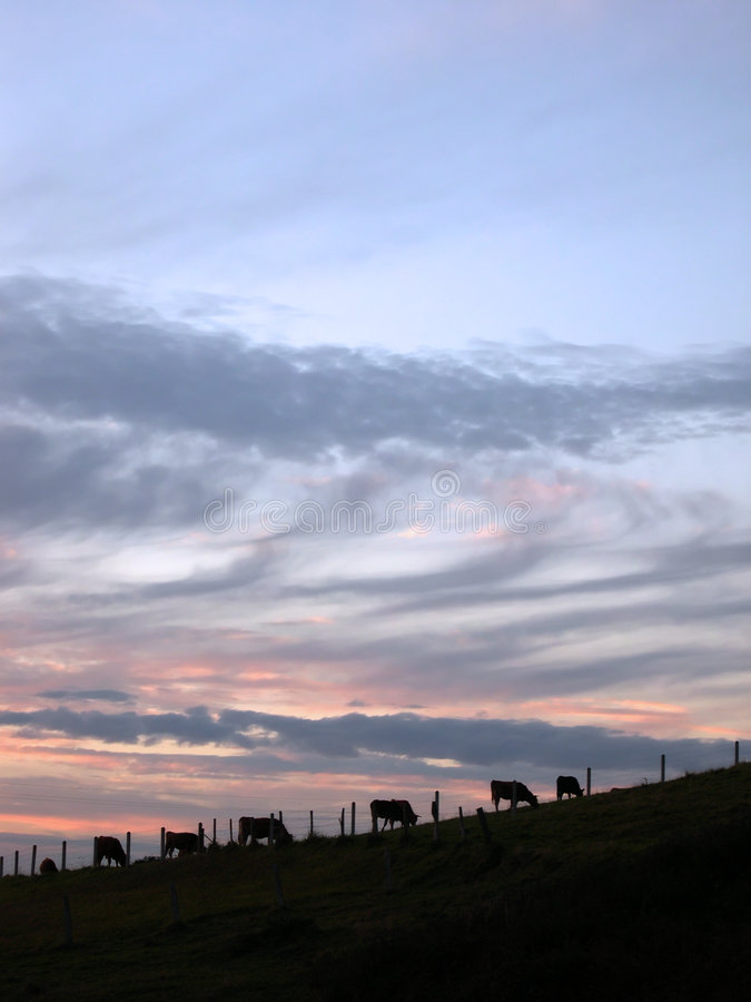 Cows at sunset royalty free stock images