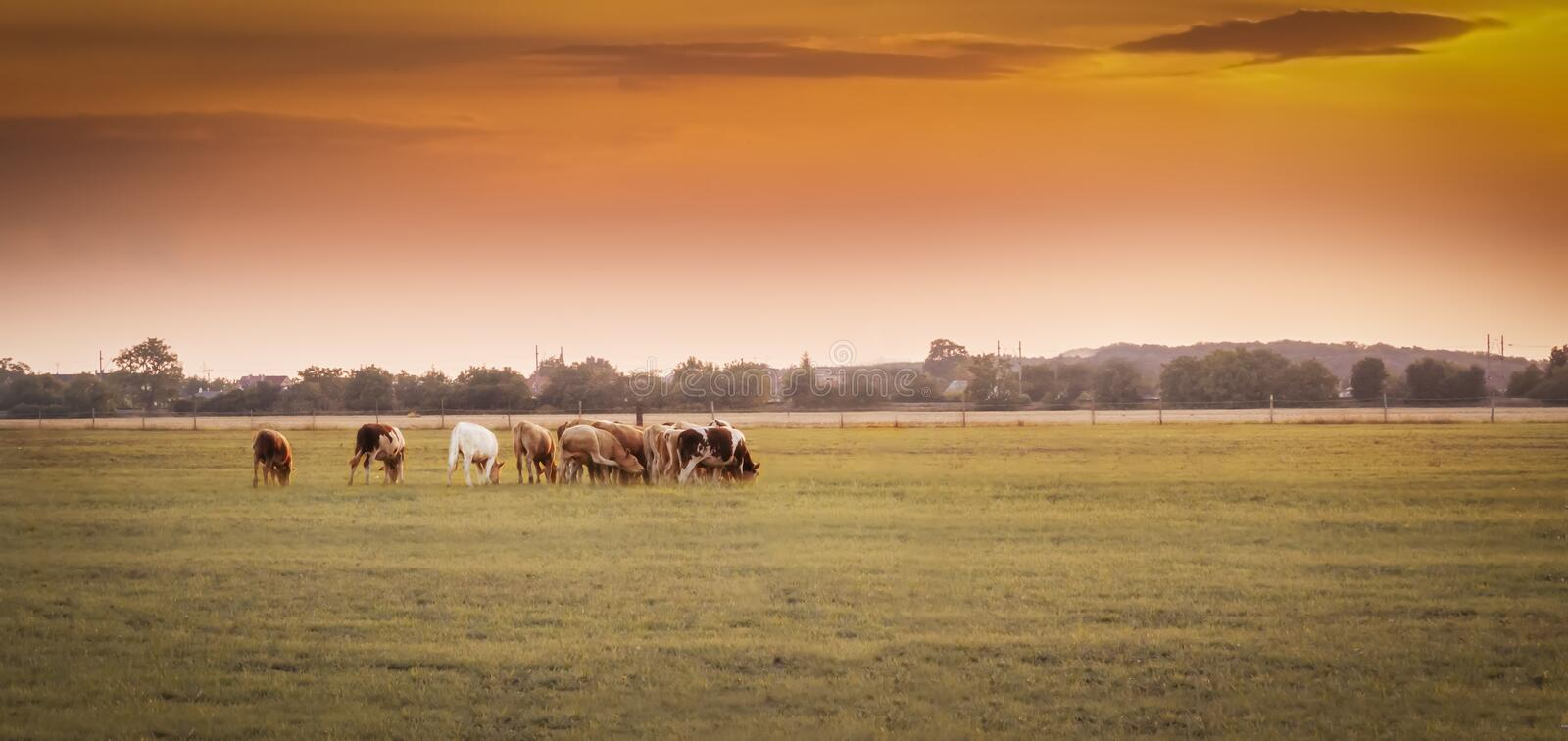 Cows graze at sunset. Herd of cows grazing in a farm/ranch grass field at the sunset stock image