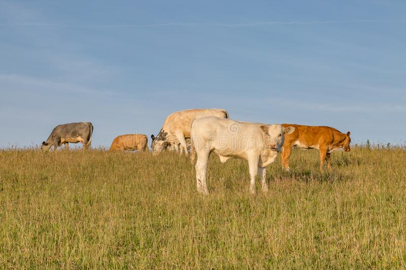 Grazing Cows. Cows in the Sussex countryside on a sunny summers morning stock image