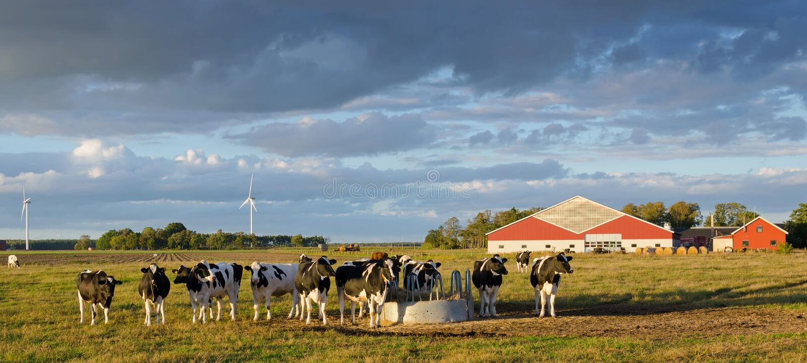 Download Cows on a Swedish farm stock photo. Image of countryside - 26797544