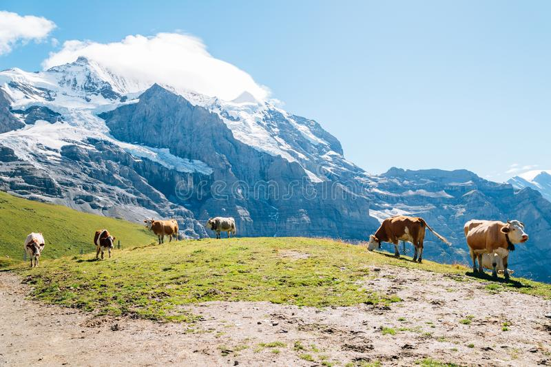 Cows and Swiss Alps mountain at Jungfrau region in Switzerland royalty free stock image