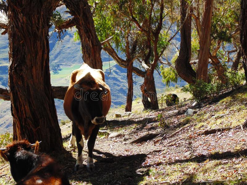 Cows taking shade under a tree. Brown colored calves taking shade under a tree in the hills. with small horns stock images
