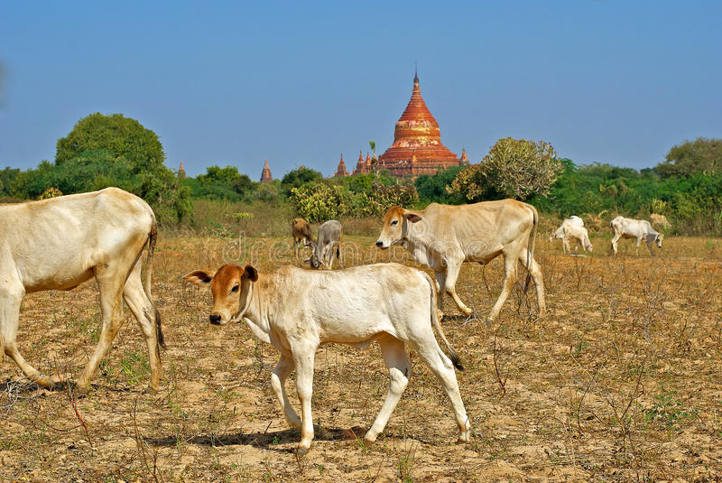 Download Cows and the temple stock photo. Image of breeding, asia - 24623162