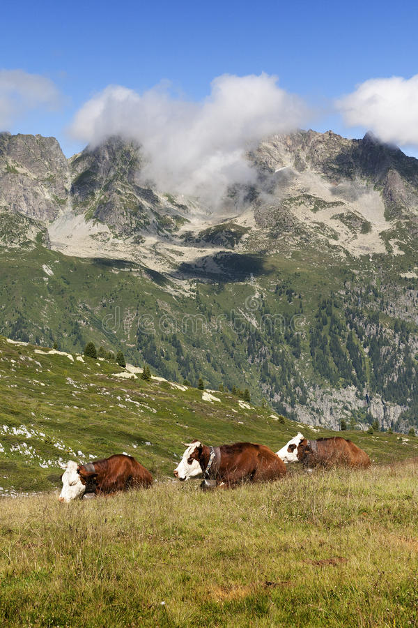 3 cows with their bell slept in a meadow. The mountains of the Alps in bottom stock photos