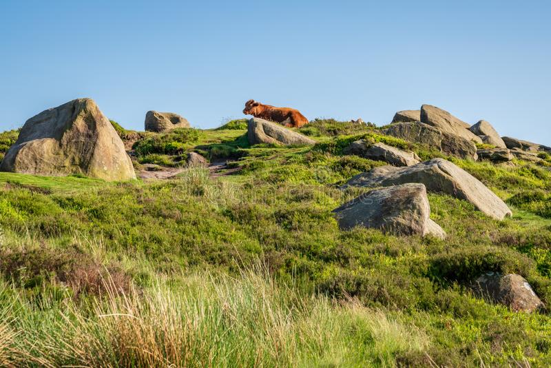 Cows on top of Higger Tor, South Yorkshire, England, UK royalty free stock photo