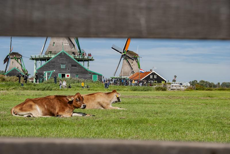 Cows with Traditional Dutch windmills in Zaanse Schans in Netherlands stock photo