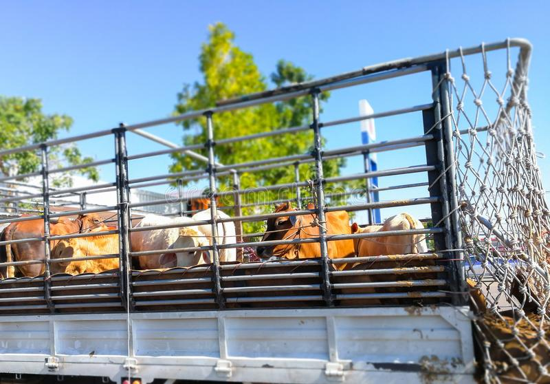 Cows on the truck. To transport to market cattle stock photography