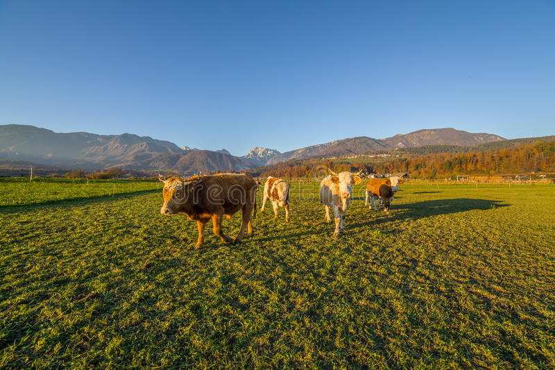 Cows under Slovenian alps. Cows on lawn under Slovenian alps stock photography
