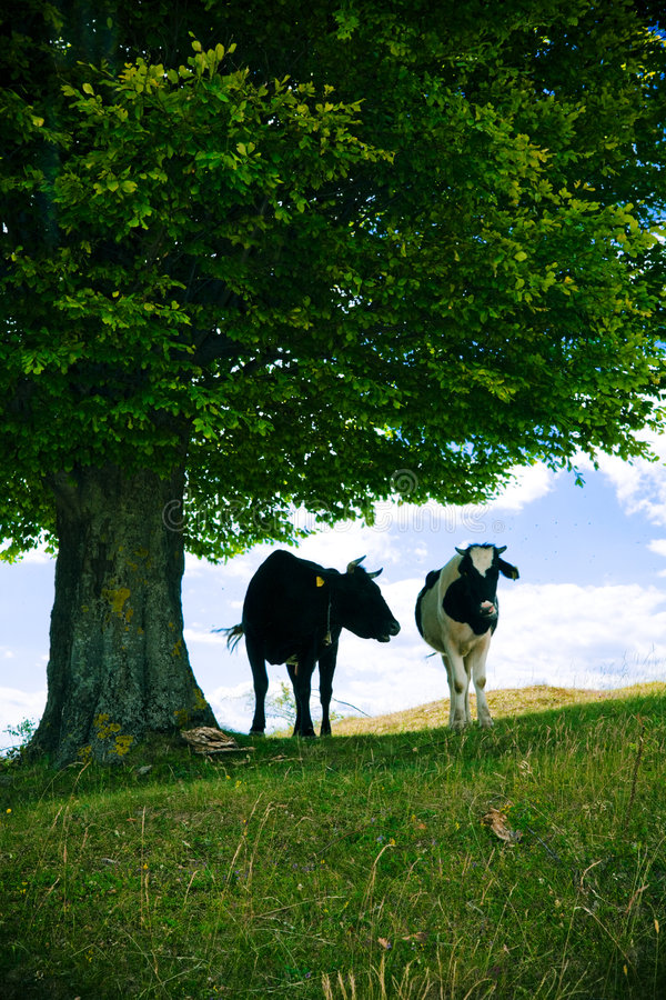 Download Cows under tree stock image. Image of cloud, animal, steer - 2774303