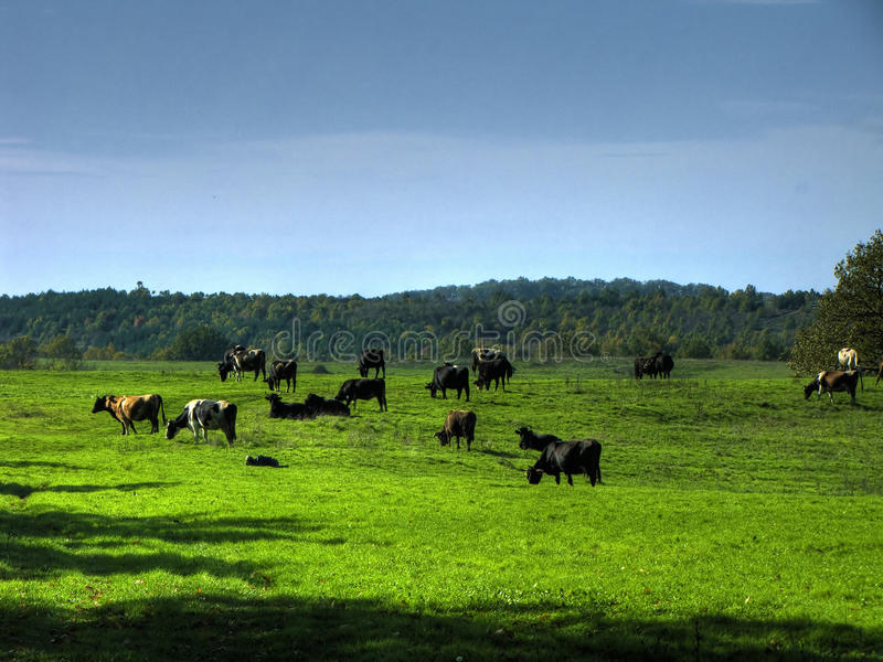 Cows in valley stock photography