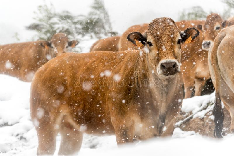 Cows and veals under a snowstorm. Herd of cows in the snow in blizzard somewhere in the Cevennes in France royalty free stock images