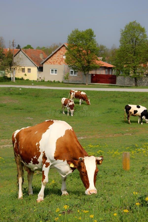 Cows. From village Ivanovo, near city Pančevo, Serbia stock photo