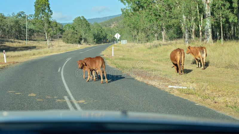 Cows Wandering Along A Highway stock image