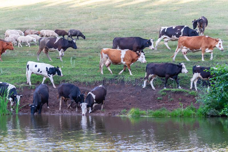 Cows at a watering hole. Village herd. Agricultural scene stock photography