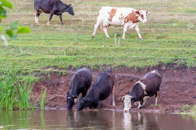 Cows at a watering hole. Village herd. Agricultural scene stock photos