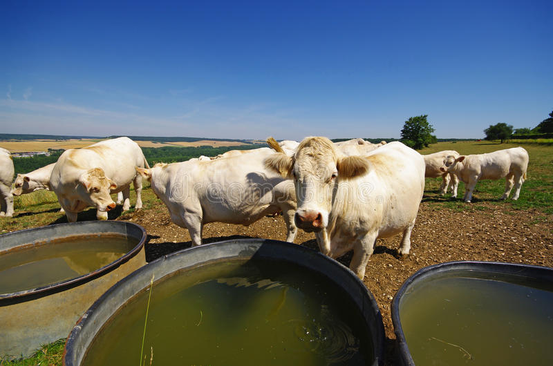 Download Cows And Watering Place In French Country Stock Photo - Image: 15159148