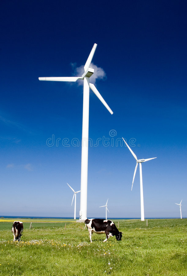 Cows and wind turbines. Two cows on green grass with several wind turbines on clear blue sky