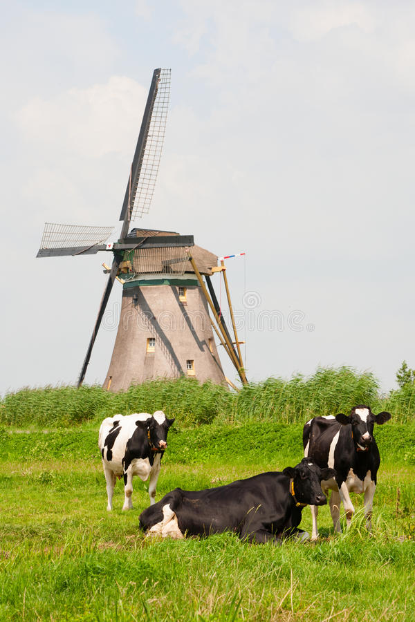 Download Cows and windmill stock photo. Image of europe, agriculture - 43049804