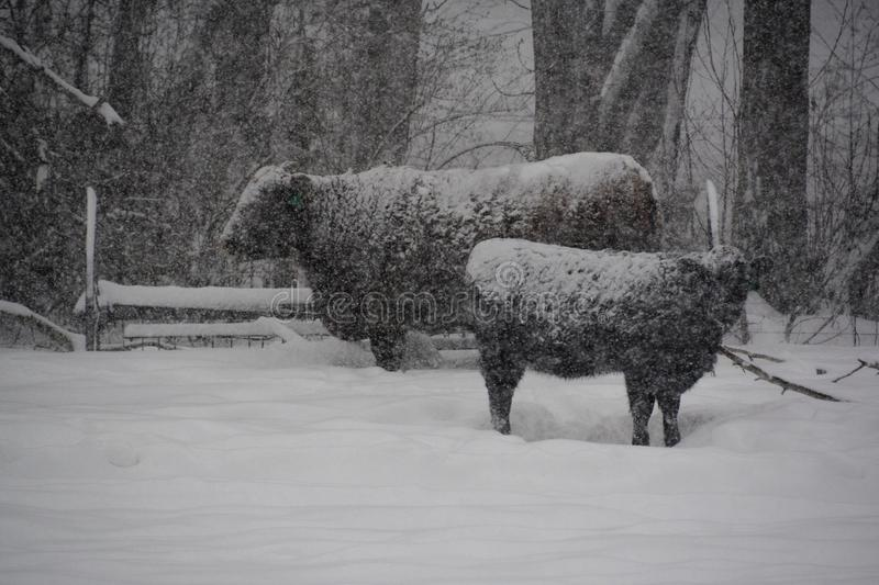 Cows during a winter storm stock photography