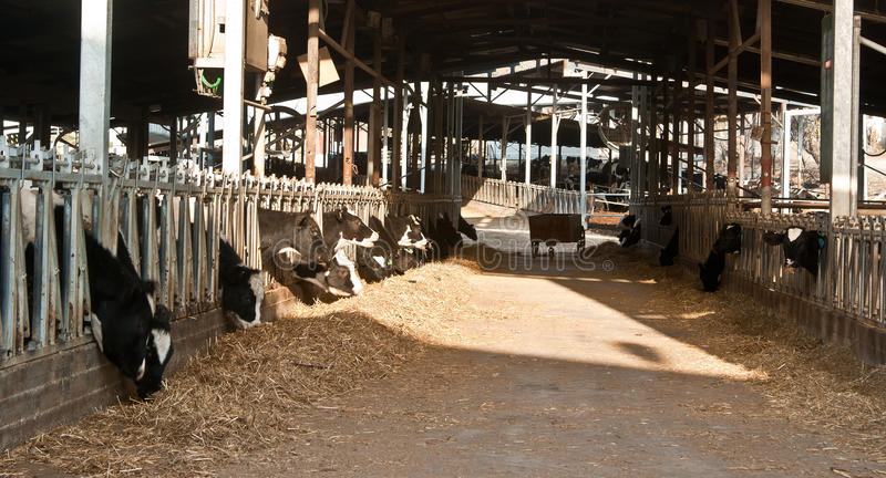 Cowshed. Cows eating in dairy farm stock image