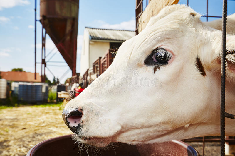 Cowshed. Calf in the cowshed - Czech Republic stock image
