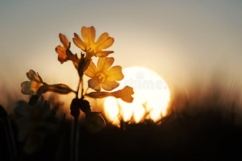 Cowslip野花在黎明 免版税图库摄影