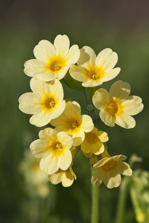 Cowslip stockfotos