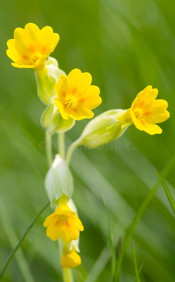 Download Cowslip Stock Photo - Image: 5263910