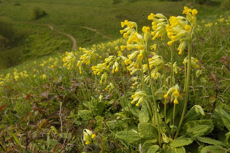 cowslip photographie stock