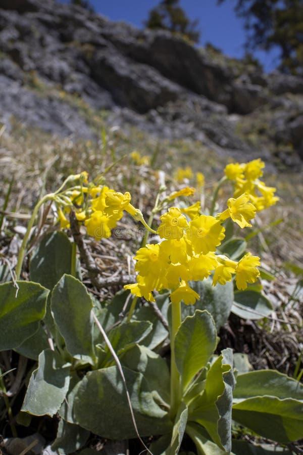 Cowslip flower stock photos