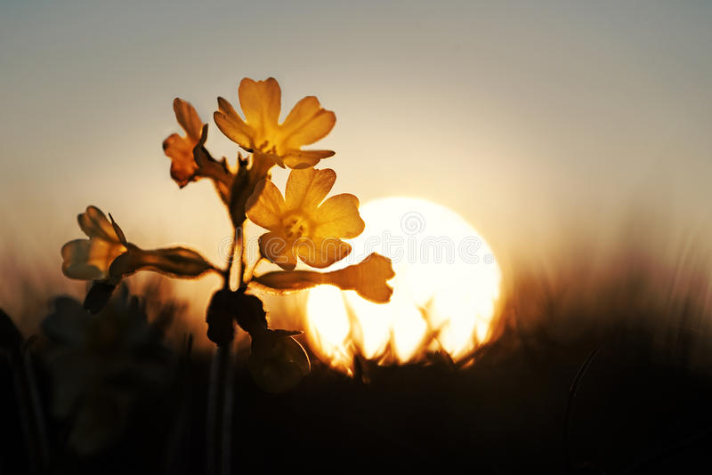 Cowslip wildflowers at dawn royalty free stock photography