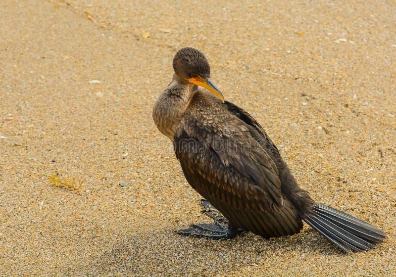Coy Cormorant sulla spiaggia fotografie stock