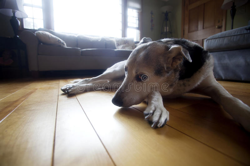 Coy Dog on floor. Old dog lies on the living room floor royalty free stock images