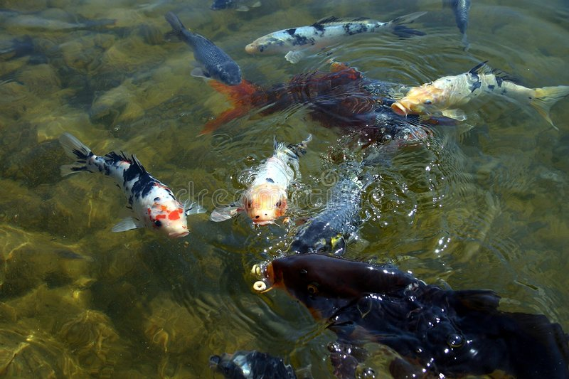 Download Coy Fish-3 stock photo. Image of pond, fish, white, water - 140556