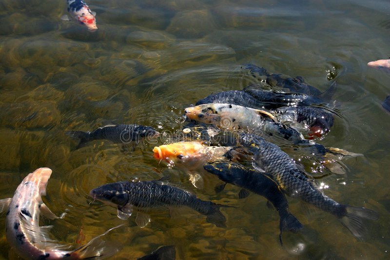 Download Coy Fish-4 stock image. Image of food, fish, school, feeding - 140557