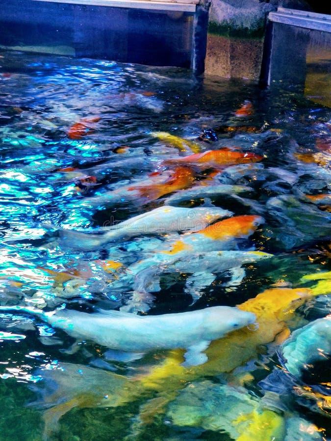 Coy Fish in Austin Aquarium royalty-vrije stock foto's